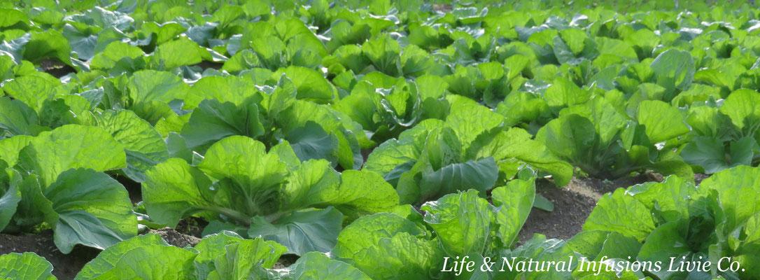 コスモスと冬野菜 Life & Natural Infusions Livie Co.