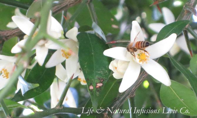 ♡ 原種柚子の花とミツバチ