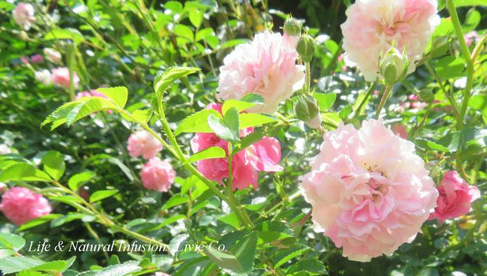 季節の花々 ローズ Life & Natural Infusions Livie Co.
