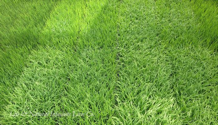 ♡ 稲の育苗