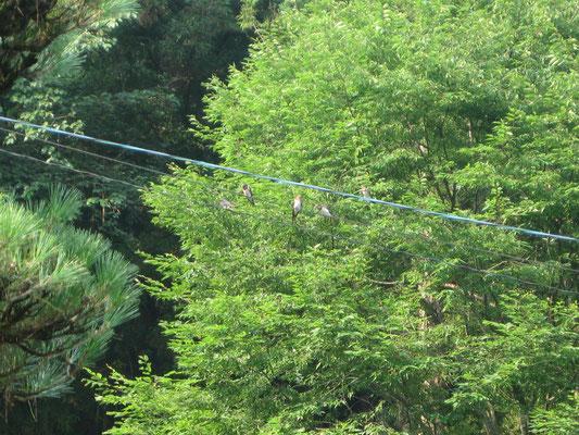 ♡ 春~初夏の午前中、同じ時間に集まってくる燕
