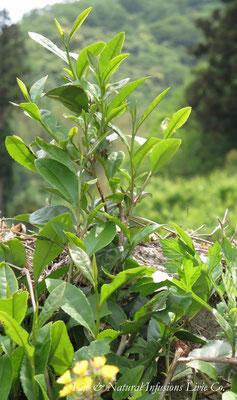 ♡ 田園と茶の木