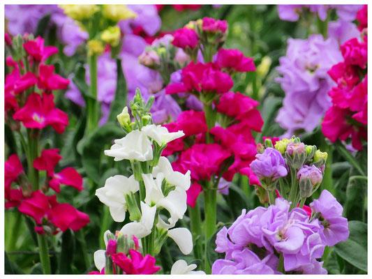 ♡ Livie Spring flowers ストック