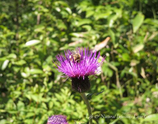 ♡ 日本ミツバチとノアザミ