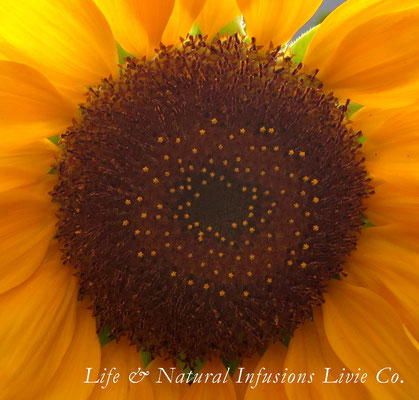 ♡ 科・属名: キク科ヒマワリ属 学名: Helianthus annuus 和名:  ひまわり 別名: 日輪草(ニチリンソウ) 英名: Sunflower 原産地: 北アメリカ