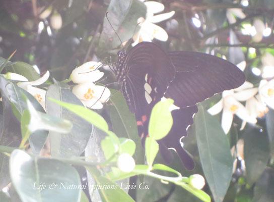 ♡ 原種柚子の花と蝶