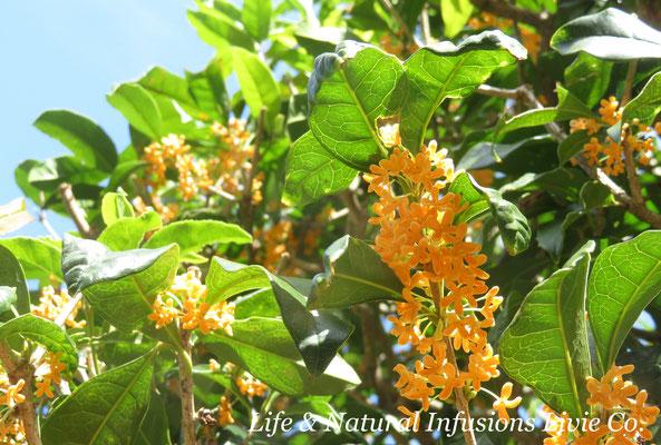 キンモクセイ 金木犀 Fragrant orange