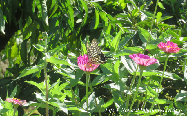 蝶と百日草 Life & Natural Infusions Livie Co.