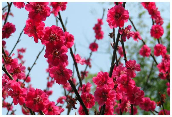 ♡ Livie Spring flowers 梅