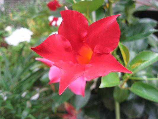 ♡ クリムゾン色のお花