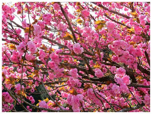 ♡ Livie Spring flowers 八重桜