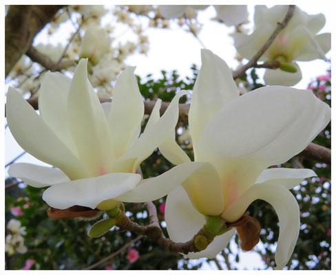 ♡ Livie Spring flowers 白木蓮