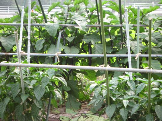 ♡ スイカのお隣には茄子とピーマンを栽培しています