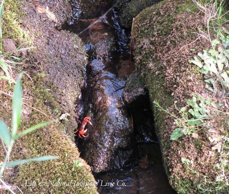 ♡ 山水と沢ガニ