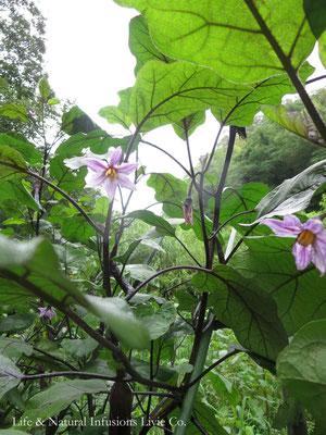 ♡ 茄子の花