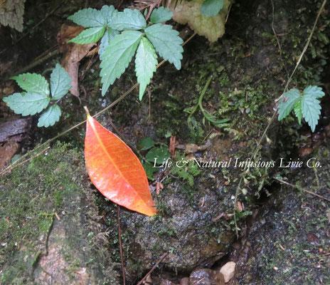 ♡ 赤い葉と石