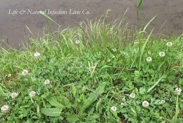 ♡ 田園側の野草