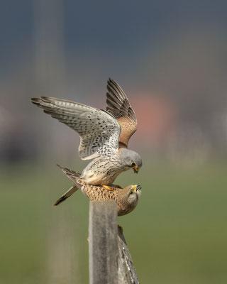 Falkenpaarung