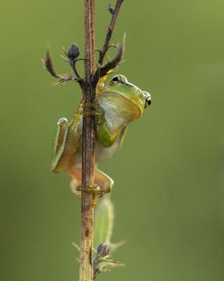 kleiner Laubfrosch :-)