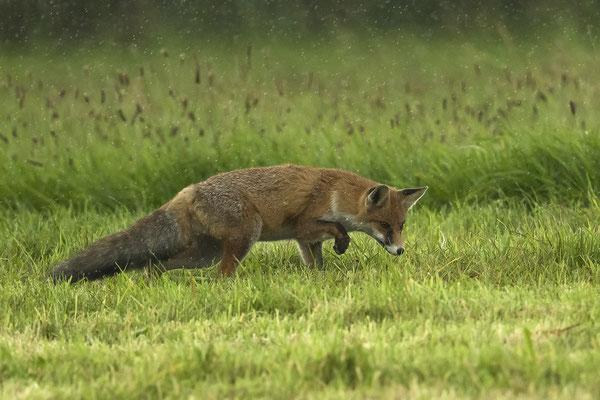 Mein Fuchs fängt seine Mäuse auch bei strömenden Regen :-)