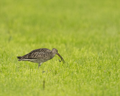 seltener Gast auf unseren Wiesen - großer Brachvogel beim Regenwürmer zupfen :-)