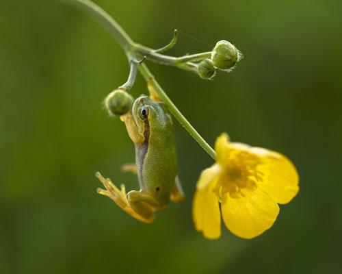 kleiner Laubfrosch - 1 cm gross