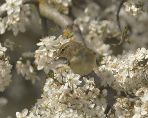 Zilpzalp im Blütenmeer