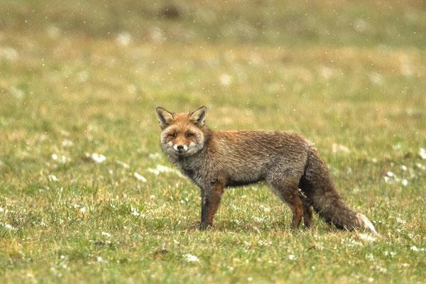 freundlicher Fuchs am Straßenrand :-)
