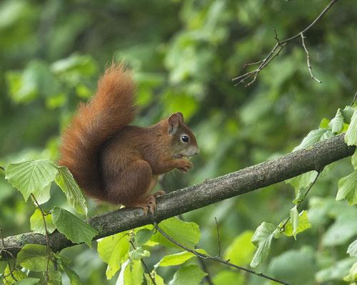 Endlich wieder mal ein hellbraunes Eichhörnchen :-)