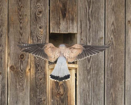 Falkenmännchen begattet sein Weibchen - nachdem die Rostgans nun doch wieder ausgezogen ist :-)