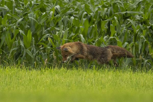 Weltschönster Fuchs beim Mäusesprung