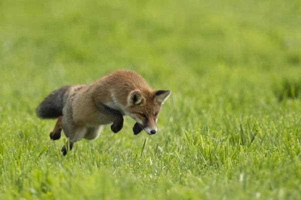 :-) im Mäusesprung der Fuchs :-)