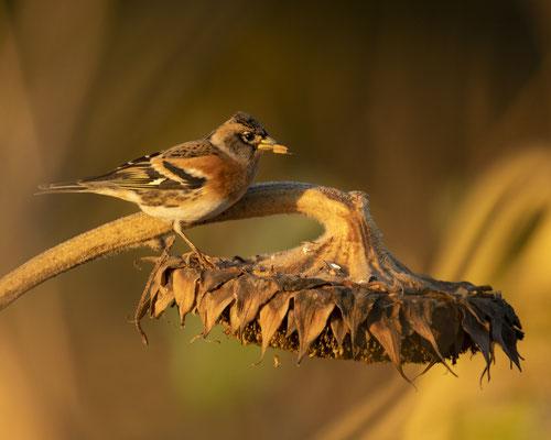 Bergfink in der untergehenden Sonne :-)