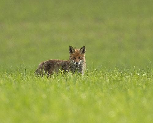 Fuchs auf Mäusejagd