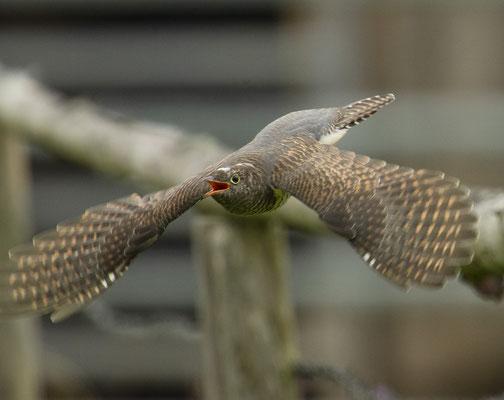 Fliegend-bettelndes Kuckuckskind