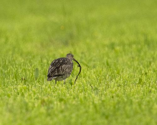 seltener Gast auf unseren Wiesen - großer Brachvogel beim Regenwürmer zupfen, oder doch eher kleine Schlange? :-)