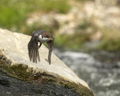 fliegende Wasseramsel mit Futter für ihre Kleinen