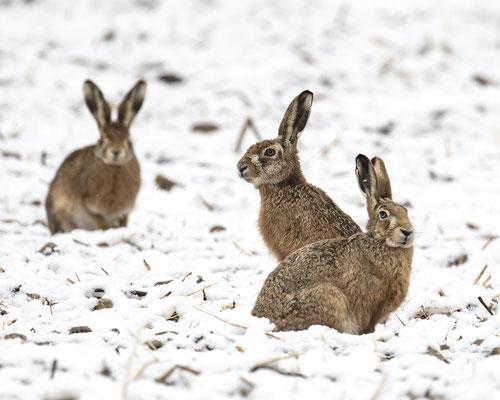 echte Schneehasen :-)