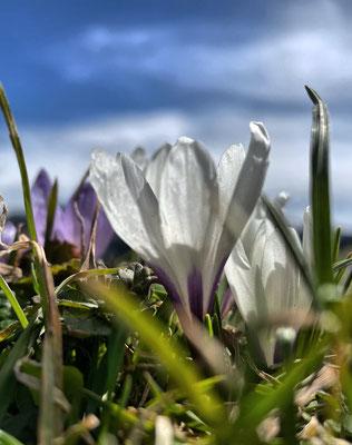 Krokusblüte an den Daffnerwald-Almen