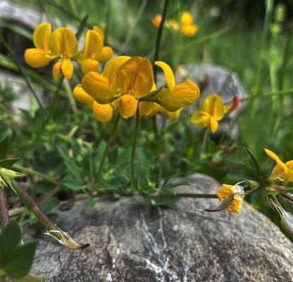 Sommerblumen auf dem Weg zu den Daffnerwald-Almen