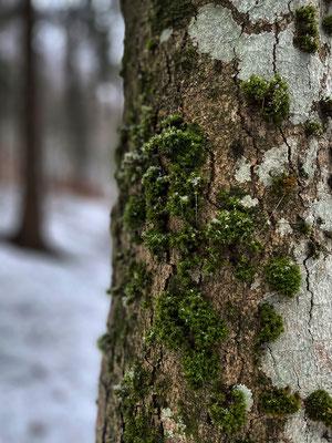 Moos im Winterwald