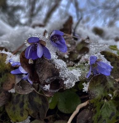 Leberblümchen im Schnee