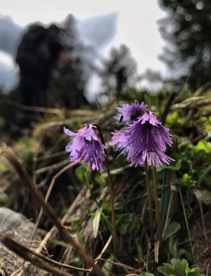 Alpen-Soldanelle