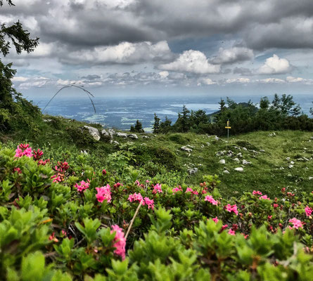Alpenrosen am Hochries-Gipfel
