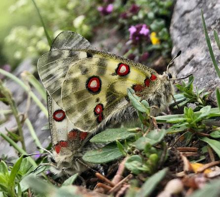 Schmetterling am Karkopf
