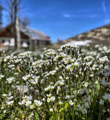 Frühlings-Hungerblümchen an der Seelacher Alm