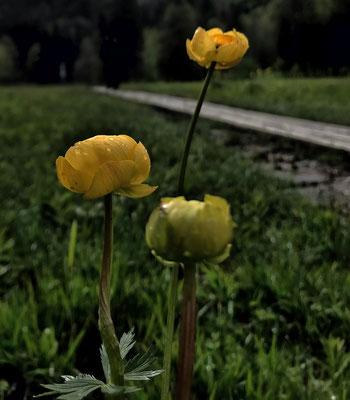 Trollblumen