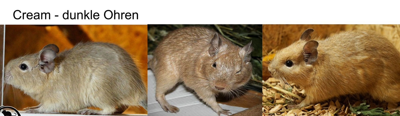 Degu Cream Schecken