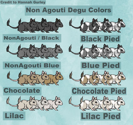 Degu Color Chart Schwarz Black, Blau Blue Non Agouti, Schoko Chocolate, Lilac