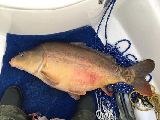 83 cm | ca. 14 kg | gefangen auf Wobbler